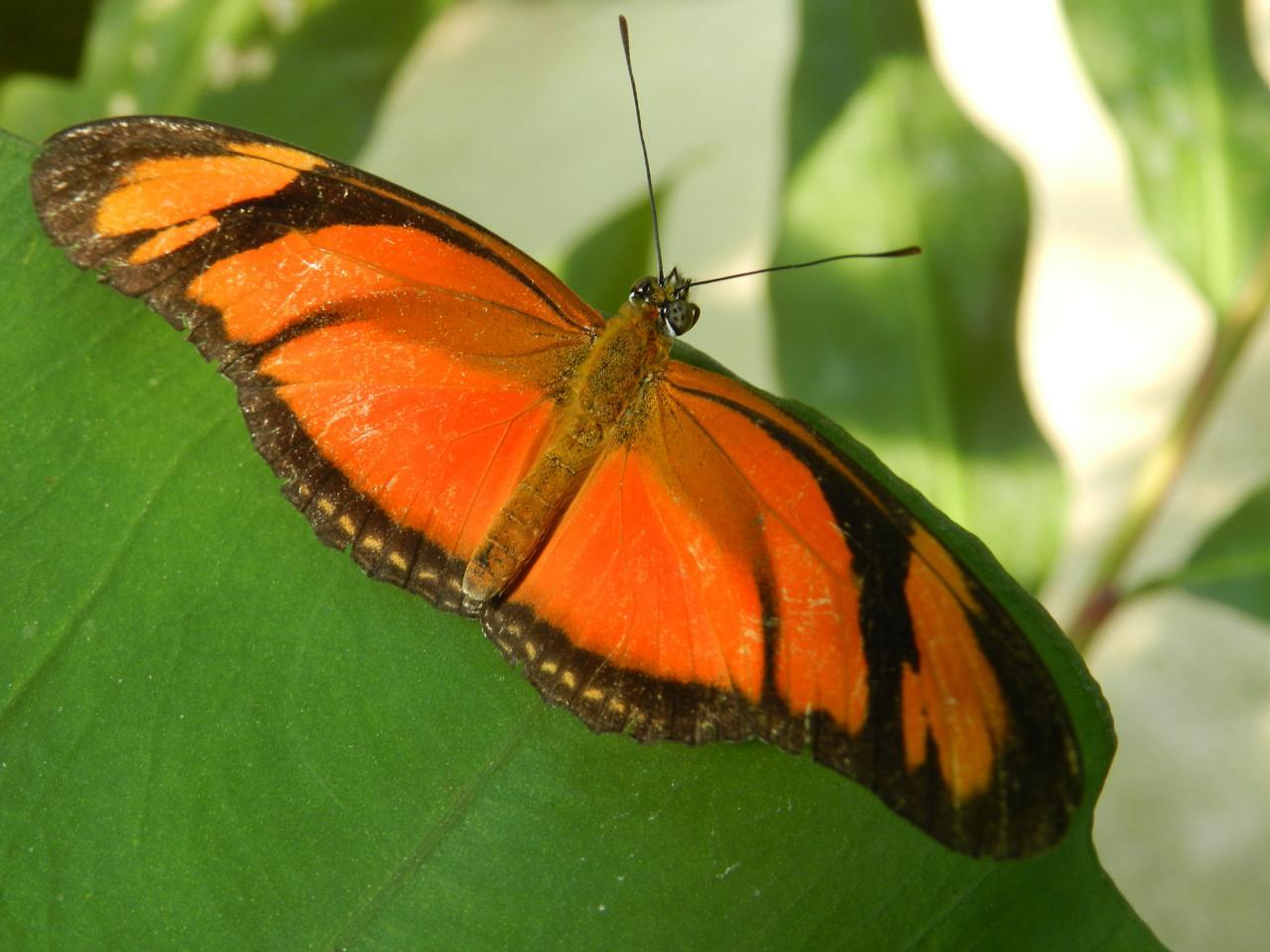 Papillons d'Amarante149