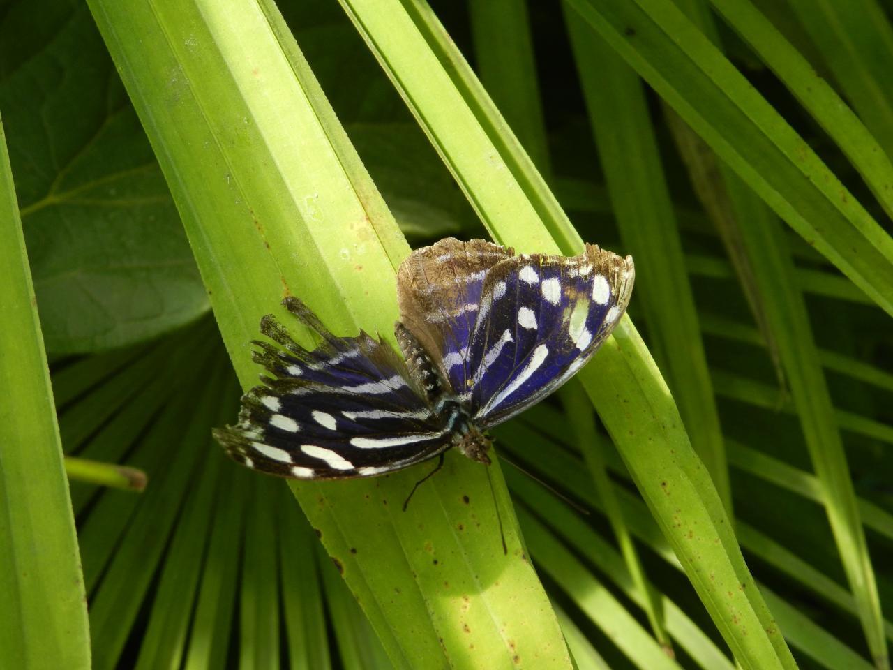 Papillons d'Amarante